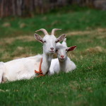 Обои на рабочий стол коза