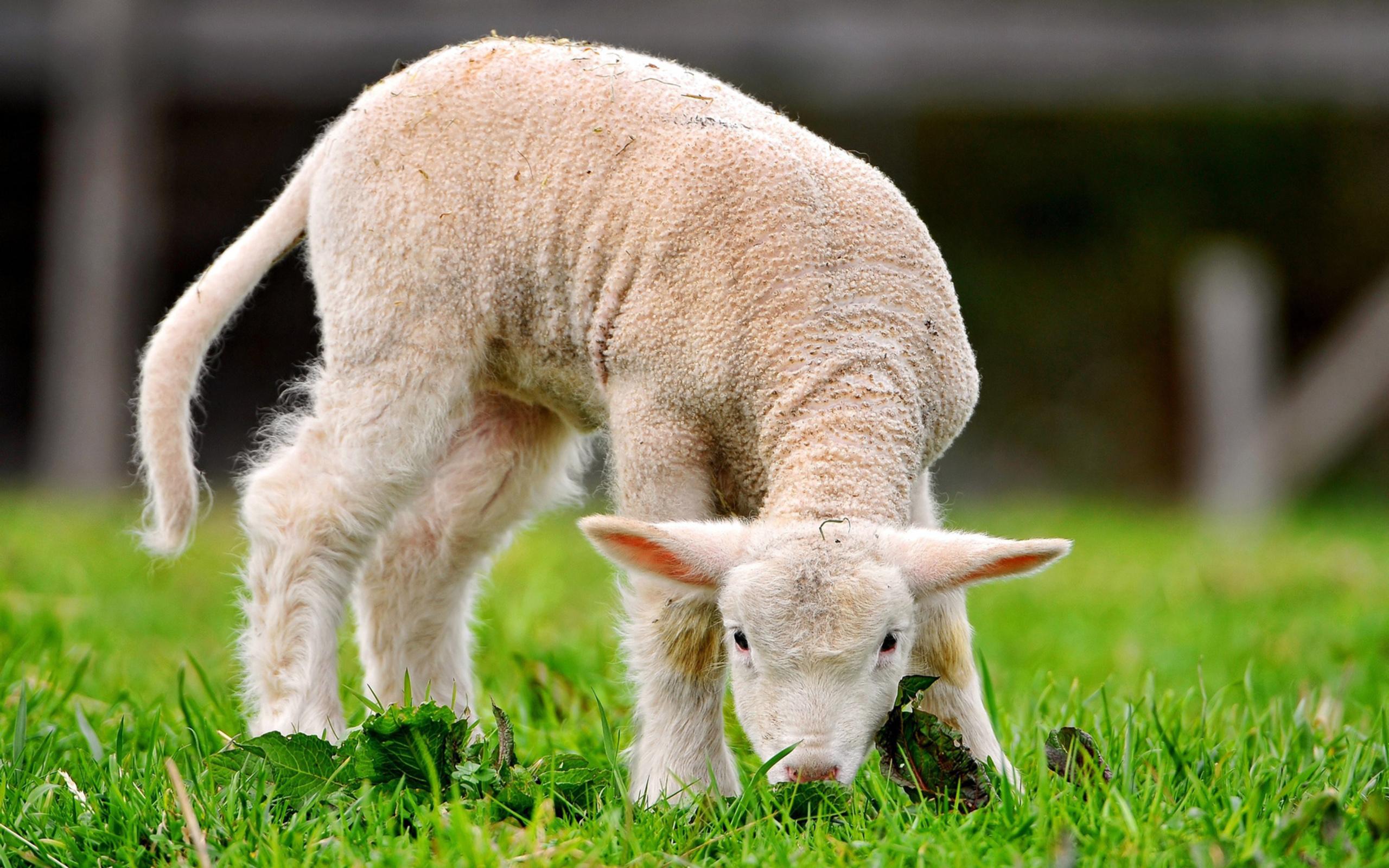 продаже загородных овца обои на рабочий стол вам вдохновения