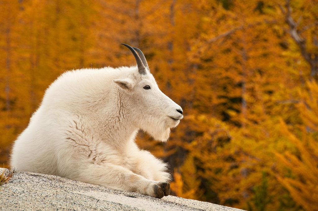 Рабочий стол обои коза