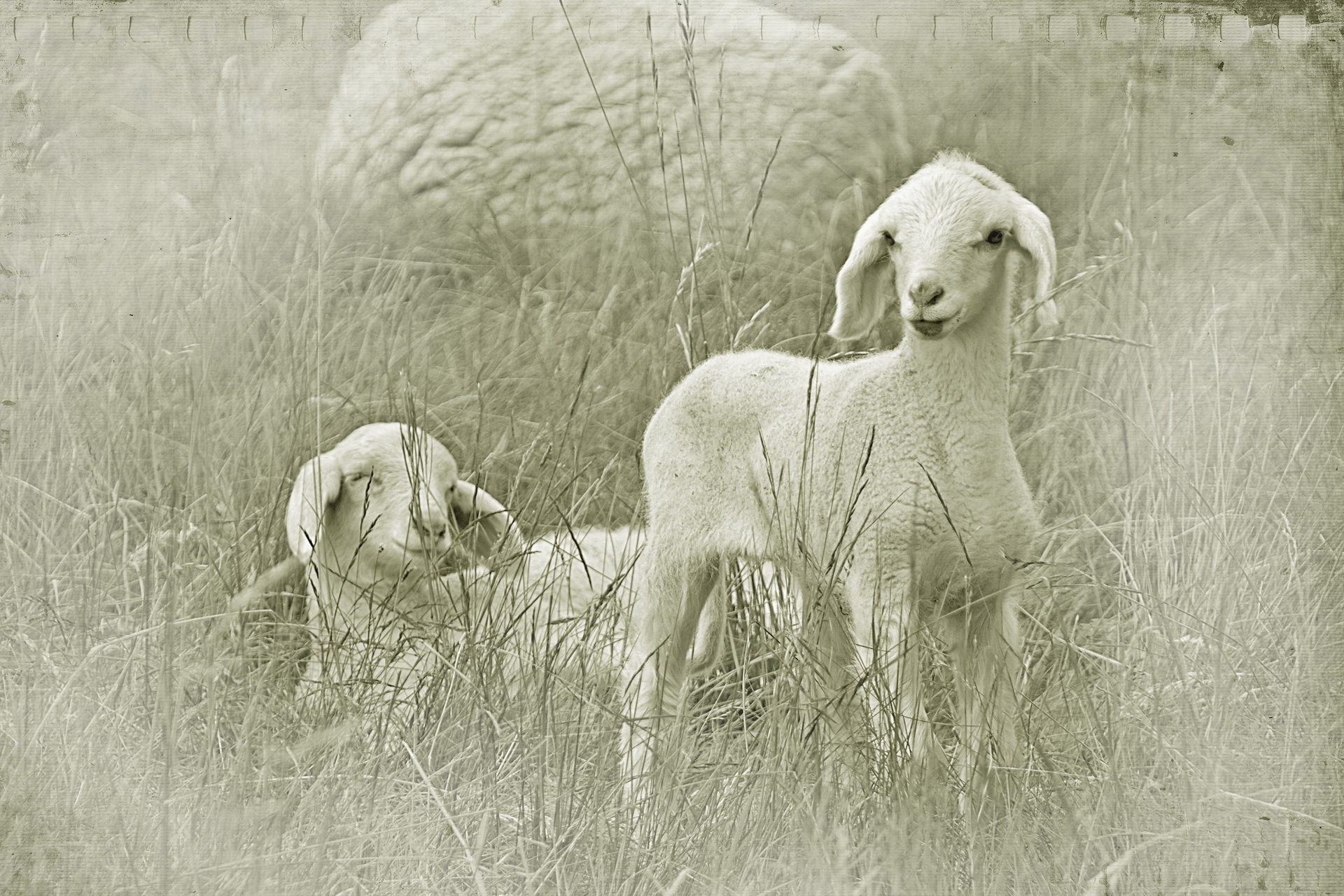 Картинки на рабочий стол-овца