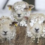 Обои на рабочий стол овечка, овца