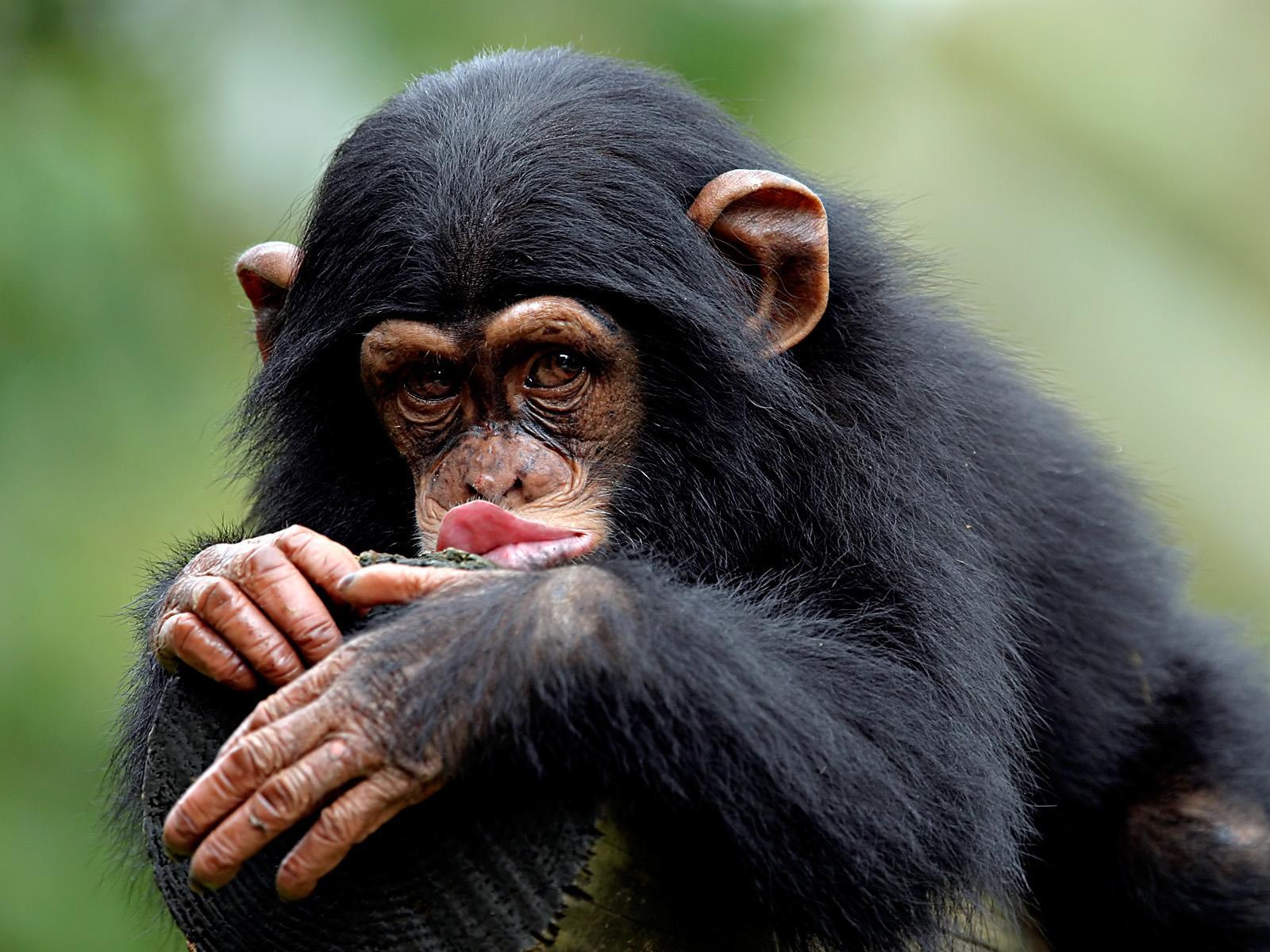 обезьянам показывали картинки