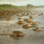 Черепахи откладывают яйца