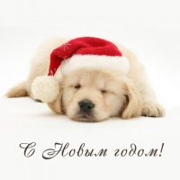 с новым годом щенок лабрадор