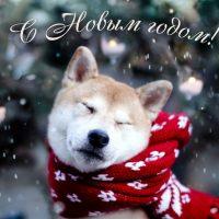 С новым годом собаки Шиба Ину