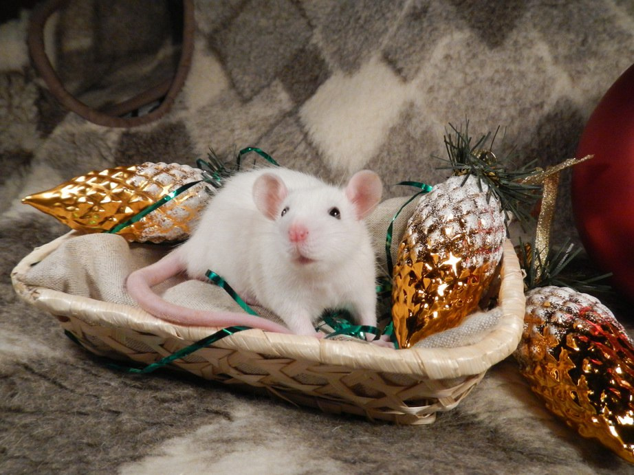 изготовлению одной открытка белая крыса рассчитывает